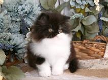Persian Kitten Black & White