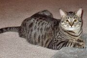 Tabby-cat-domestic-shorthair-balthazar