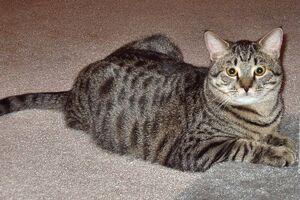 Tabby-cat-domestic-shorthair-balthazar
