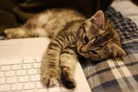 Kitten and MacBook