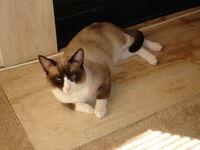 Snowshoe (cat)