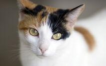 Calico Cat Face