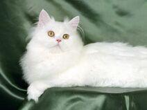 Persian Cat image