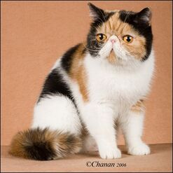 Exotic Shorthair - (Calico)