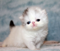 White Persian Kitten, And Black In The Tail