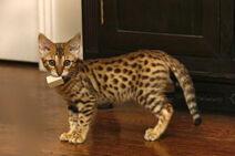 Savannah Kitten Bit A Wood