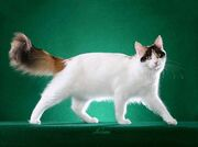 Turkish-van-cat-1