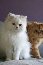 Two Kitten Persian Orange & White