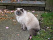 Strathcona-Siamese-Persian-mix-cat-3730
