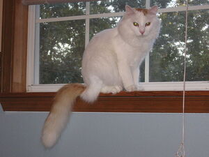 Hobie the turkish van