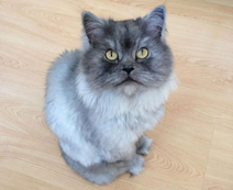 Grey Persian Cat Standing In The Wood