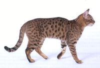 Star Spangled Cat
