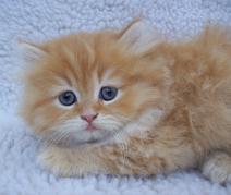 Cute Persian Kitten In Blanket