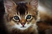 Somali cat 2