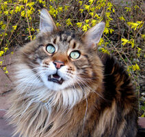 Auggiee Main Coon