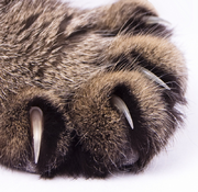 Cat Claw Close-up
