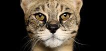 Savannah Cat Face