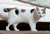 Manx breed cat named Inkku