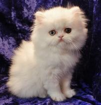 White Persian Kitten 3