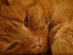Red fluffy cat close up