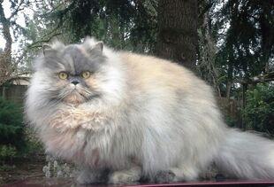 Orange Gray Persian Cat