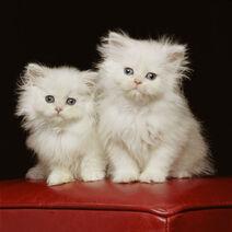 Two Persian Kitten