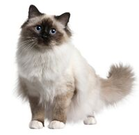 Birman-cat 13667652