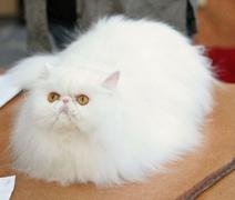 White Persian Kitten 2