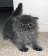 Black Persian Kitten Afraid