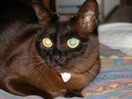 Australian Burmese - pedigree 2 years old