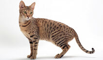 Savannah Cat In The White Background