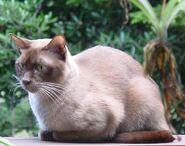 Burmese chocolate cat