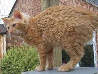 Laperm LH red tabby