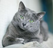 Russian-blue-cat