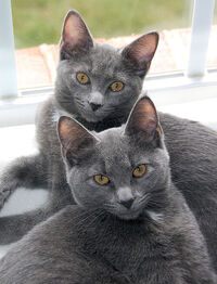 Korat Sisters