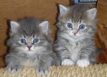 2 Persian Kitten