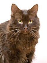 Ussuri York-Chocolate Cat