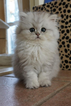 Cute White Persian Kitten