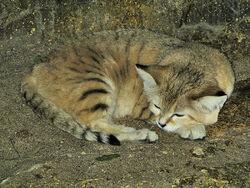 Sand cat at bristol zoo