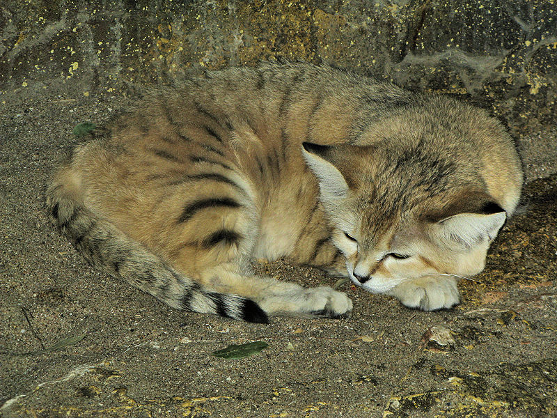 image sand cat at bristol zoo jpg cats wiki fandom powered by