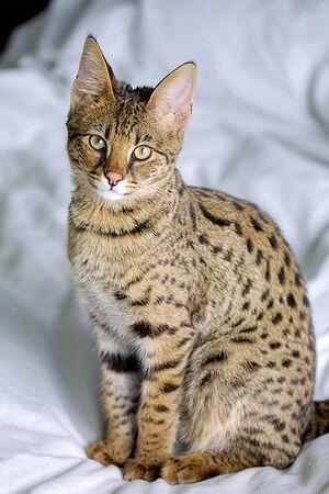 Savannah Cat portrait