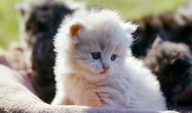White Persian Kitten 4