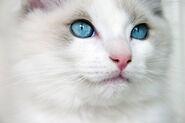 Ragdoll kitten blue eyes