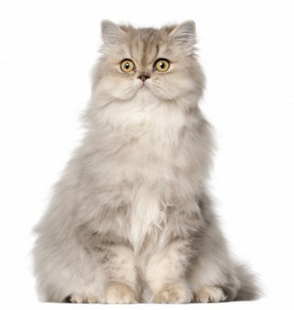 White Persian Cat Standing In White Background