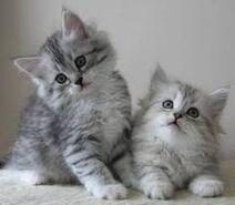 2 Gray Persian Kitten
