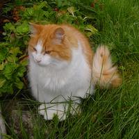 Norwegian Forest Cat in Norway