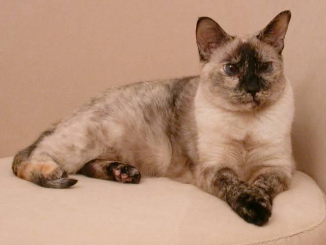 Siamese Cats Wiki Fandom Powered By Wikia