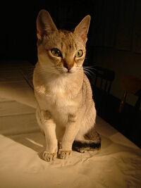Raffles singapura cat