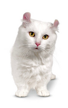 White Kinkalow Cat