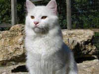 Turkish Vankedisi Cat